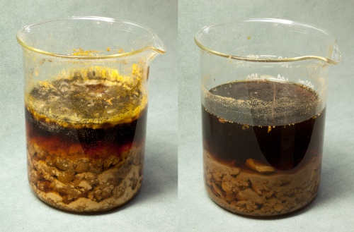 Two gall nut solutions left to macerate for 14 days. On the left, the gall nuts are in water and have developed mold at the surface. On the right, the gall nuts are soaking in white wine.
